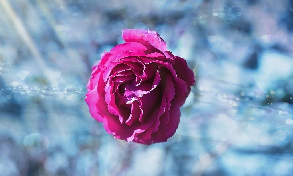 rose-1015838_1280